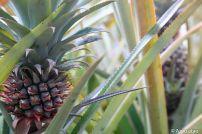 Champs d'ananas de Moorea